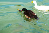 Black Ducks on the water in the lake — Stock Photo