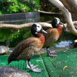 Stock Photo: Two brown with green feathers ducks