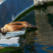 The sea lion in zoo sleeping — Stock Photo