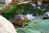 Yellow brown turtle with long neck — Stock Photo