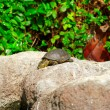 Yellow brown turtle with long neck — Stock Photo #18604939