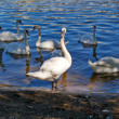 White swans on the glistening water of lake — Stock Photo