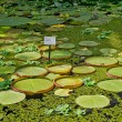 Green round leaves with water lilies on lake — Stock Photo