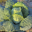 Fruiting young green cabbage head — Stock Photo #44374817