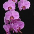 Orchide an black background — Stock Photo #3008811