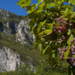 Stock Photo: Vine in mountain valley Montenegro
