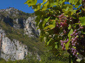 Vine in a mountain valley Montenegro — Stock fotografie