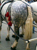 Rump and tail braided gray horse — Stockfoto
