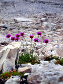 Flowers in the high rocky mountains, the Brenta Dolomites — Stock Photo