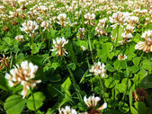 Overgrown meadow young white clover  — Stock Photo