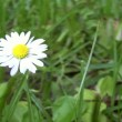 Picking a Daisy — Stock Video