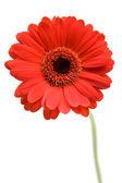 Red Gerber Daisy — Stock Photo