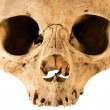 Skull with Clipping Path — Lizenzfreies Foto