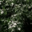 Stock Video: Snow on Green Leaves