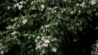 Snow on Green Leaves — Stock Video