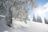 Sunshine and pine tree — Stock Photo
