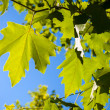 Green leaves against a blue sky — Stock Photo
