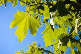 зеленые листья против голубого неба — Стоковое фото