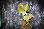 Ivy leaves on tree trunk  — Stock Photo