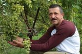 The smiling wine-grower shows grapes cluster — Stok fotoğraf