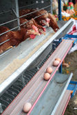 Chicken husbandry for eggs — Stock Photo
