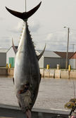 Blue Fin Tuna — Stock Photo