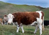 Mucca su una collina — Foto Stock