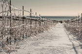 Vineyard after an Ice Storm — Stock Photo
