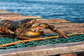 Atlantic Lobster — Stock Photo