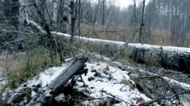 Old trees in winter forest — Stockvideo