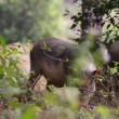 Wild pigs — Stock Video #35363645
