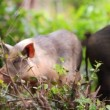 Wild pigs — Stock Video #35368781