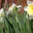 Poet's daffodil — Stock Video #40793437