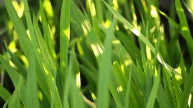 Verse groene gras — Stockvideo