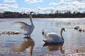 Two swans in spring — Stock Photo