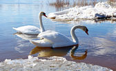 Swans of ice — Stock Photo