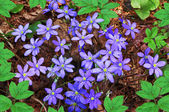 Hepatica nobilis — Stock Photo