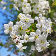 Cherry flowers closeup — Stock Photo
