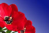 Red tulip flowers closeup — Stock Photo