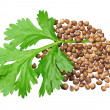Green coriander and grains - Stock Photo