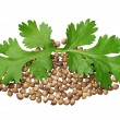 Two green coriander leaves and seeds - Stock Photo