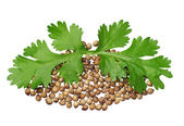 Two green coriander leaves and seeds — Stock Photo