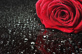 Rose with water drops — Foto de Stock