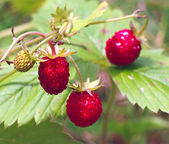 Forest strawberry closeup — Stock Photo