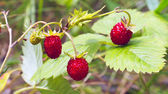 Forest strawberry — Stock Photo