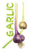 Fresh garlic and the word of garlic — Stock Photo