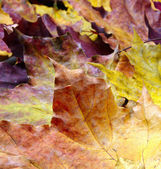 Background with maple leaves — Stock Photo