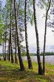 En el lago de abedul — Foto de Stock