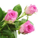 Three pink rose closeup — Stock Photo