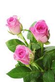 Pink rose closeup — Stock Photo